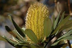 Fiore di Banksia Fotografia Stock