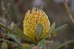 Fiore di Banksia Fotografia Stock Libera da Diritti