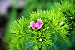 Fiore di Barbatus Pink del garofano sui precedenti delle foglie verdi fotografie stock