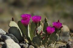 Fiore di basilaris dell'opunzia del cactus di Beavertail Fotografia Stock
