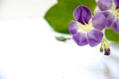 Fiore di BAYA su fondo bianco con effetto Fotografie Stock