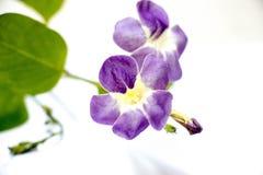 Fiore di BAYA su fondo bianco con effetto Immagini Stock