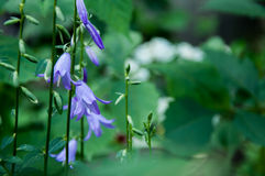 Fiore di Bell Fotografie Stock Libere da Diritti