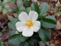 fiore di bellezza & x28; ful& x29 di sundori; Fotografia Stock