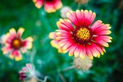 Fiore di bellezza su fondo verde, giardino floreale Fotografie Stock