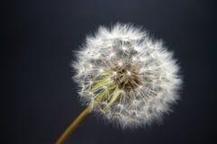 Fiore di bianco della lanugine del dente di leone su un fondo grigio immagini stock