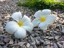 Fiore di bianco due Fotografia Stock Libera da Diritti