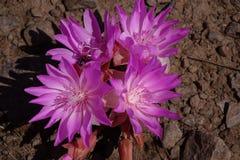 Fiore di Bitterroot fotografia stock