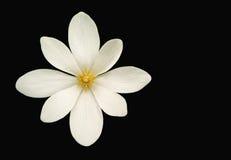 Fiore di Bloodroot (canadensis di Sanguinaria) Fotografia Stock