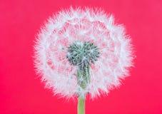 Fiore di Blowball Fotografia Stock