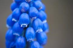 Fiore di Bluebell Fotografia Stock Libera da Diritti