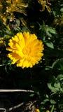 Fiore di botanica Fotografia Stock