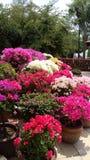 Fiore di Bougaville Fotografia Stock