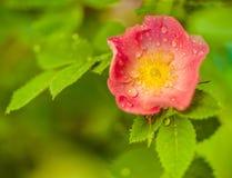 Fiore di Briar cespuglio Fotografia Stock Libera da Diritti