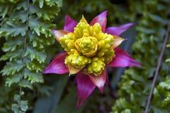 Fiore di bromelia di Guzmania di bromeliacea Immagine Stock Libera da Diritti