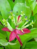 Fiore di Bromeliads Fotografie Stock