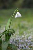 Fiore di bucaneve Fotografia Stock