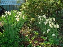 Fiore di bucaneve e di Narcissuses nel giardino Immagine Stock