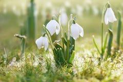 Fiore di bucaneve in natura con le gocce di rugiada Immagine Stock