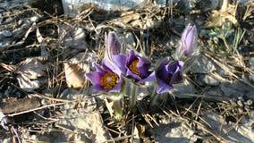 Fiore di bucaneve sulla terra fotografie stock