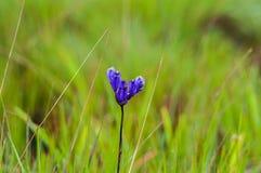 Fiore di Burmannia Fotografie Stock Libere da Diritti