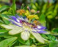 Fiore di caerulea della passiflora della passiflora di Bluecrown, Api che impollinano su un fiore di passiflora immagini stock libere da diritti