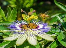 Fiore di caerulea della passiflora della passiflora di Bluecrown, Api che impollinano su un fiore di passiflora fotografie stock