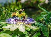 Fiore di caerulea della passiflora della passiflora di Bluecrown, Api che impollinano su un fiore di passiflora fotografia stock