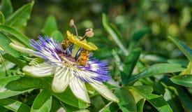 Fiore di caerulea della passiflora della passiflora di Bluecrown, Api che impollinano su un fiore di passiflora immagini stock