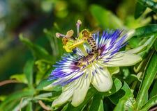 Fiore di caerulea della passiflora della passiflora di Bluecrown, Api che impollinano su un fiore di passiflora fotografia stock libera da diritti