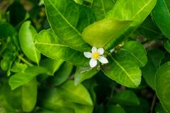 Fiore di calce Fotografie Stock
