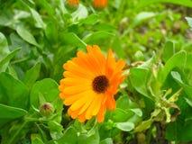 Fiore di calendula officinalis con le foglie verdi fotografia stock libera da diritti