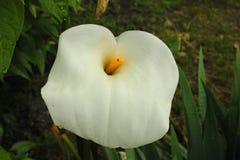 Fiore di Calle nel giardino Fotografia Stock