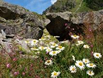 Fiore di Camille del primo piano in montagne alpine Svizzera, Unterstock, Urbachtal Fotografie Stock Libere da Diritti
