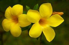 Fiore di campana gialla Immagini Stock