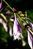 Fiore di campana porpora in giardino Immagine Stock Libera da Diritti