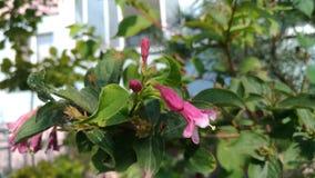 Fiore di campana rosa su un cespuglio verde Fotografia Stock