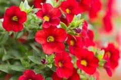 Fiore di campane di rosso milione Fotografia Stock