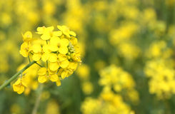 Fiore di Canola Fotografia Stock