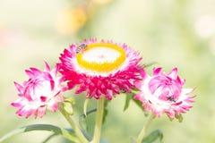 Fiore di carta di Strawflower della margherita del Helichrysum Immagine Stock