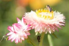 Fiore di carta di Strawflower della margherita del Helichrysum Immagini Stock Libere da Diritti