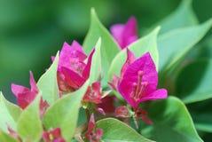 Fiore di carta nel mio giardino Fotografia Stock