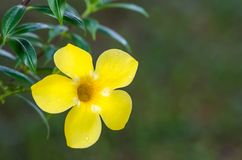 Fiore di cathartica del Allamanda Immagine Stock