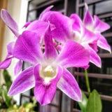 Fiore di Cattleya Fotografia Stock