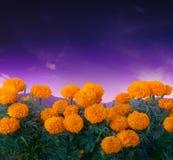 Fiore di Cempasuchil usato per gli altari messicani per Fotografie Stock Libere da Diritti