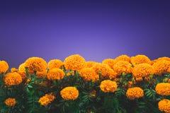 Fiore di Cempasuchil usato per gli altari messicani per Immagine Stock