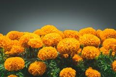 Fiore di Cempasuchil usato per gli altari messicani per Fotografie Stock