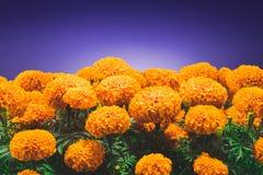 Fiore di Cempasuchil usato per gli altari messicani per Immagini Stock