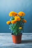 Fiore di Cempasuchil usato per gli altari messicani per Fotografia Stock
