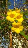 Fiore di Cerrado fotografia stock libera da diritti